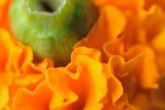 充满活力的色的印地安玛丽金子宏观纹理开花 库存图片