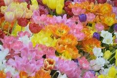 充满活力的色的春天郁金香自然背景开花 库存照片