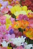 充满活力的色的春天郁金香自然背景开花 库存图片