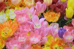 充满活力的色的春天郁金香自然背景开花 免版税库存照片