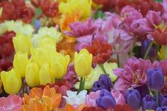 充满活力的色的春天郁金香自然背景开花 图库摄影