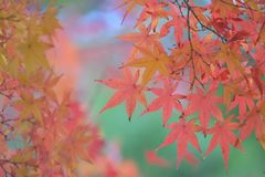 充满活力的色的鸡爪枫背景离开与被弄脏的背景 库存照片