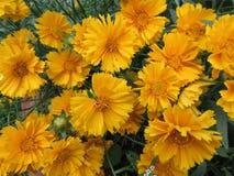 充满活力的黄色花在庭院里 免版税库存图片
