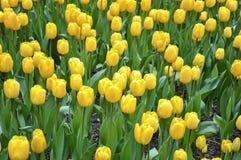 充满活力的黄色郁金香花圃在春天 免版税图库摄影
