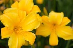充满活力的黄色野花 库存照片