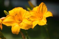 充满活力的黄色野花 免版税库存照片