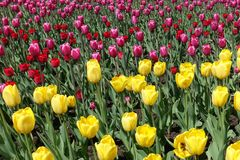 充满活力的黄色,红色和桃红色郁金香 库存图片