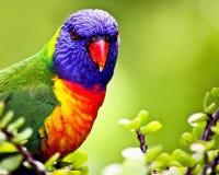 充满活力美好的颜色的lorikeet 免版税库存照片
