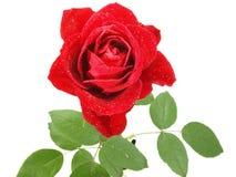 充满活力misted红色的玫瑰 免版税库存图片