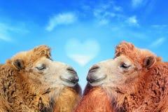 充满爱的两头骆驼 免版税库存图片