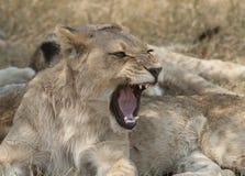 充满自豪感的幼小狮子 库存照片