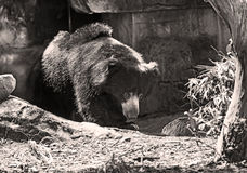 充电在洞外面的成人大亚洲黑熊 免版税库存图片