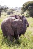 充电的大象 免版税库存图片