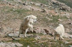 充电的山羊山 免版税库存图片