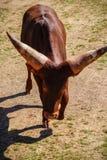充电的牛 免版税库存图片