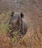 充电的犀牛, Tsavo西部国家公园,肯尼亚,非洲 免版税图库摄影
