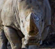 充电的犀牛 免版税库存照片