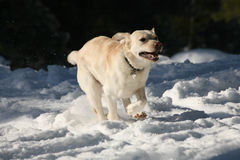 充电通过雪的黄色拉布拉多狗 免版税库存图片