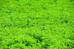 充满活力的三叶草一棵大草  免版税库存图片