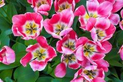 充满活力的五颜六色的桃红色和白色郁金香假日背景特写镜头上部视图  库存图片