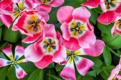 充满活力的五颜六色的桃红色和白色郁金香假日背景特写镜头上部视图  库存照片