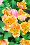 充满活力的五颜六色的桃红色和黄色郁金香假日背景 免版税库存照片