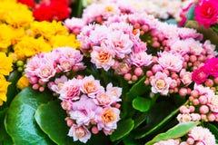 充满活力的五颜六色的桃红色Kalanchoe fowers假日背景 免版税图库摄影