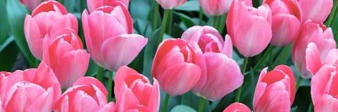 充满活力的五颜六色的特写镜头桃红色郁金香假日全景背景 免版税图库摄影
