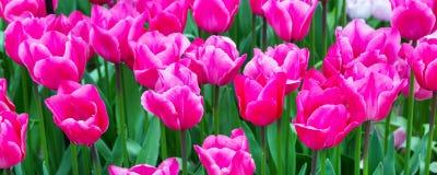 充满活力的五颜六色的特写镜头桃红色郁金香假日全景背景 免版税库存照片