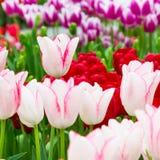 充满活力的五颜六色的特写镜头白色有桃红色郁金香假日全景背景 库存照片