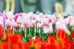 充满活力的五颜六色的特写镜头白色有桃红色郁金香假日全景背景 库存图片