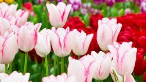 充满活力的五颜六色的特写镜头白色有桃红色郁金香假日全景背景 免版税库存照片