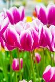 充满活力的五颜六色的特写镜头白色有紫色郁金香假日全景背景 库存图片