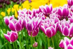 充满活力的五颜六色的特写镜头白色有紫色郁金香假日全景背景 免版税库存图片