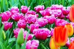充满活力的五颜六色的粗野的渐近的模糊的桃红色郁金香假日背景 库存图片