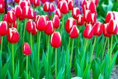 充满活力的五颜六色的红色和白色郁金香假日背景 库存照片