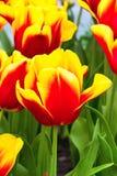 充满活力的五颜六色的红色和黄色郁金香假日背景 图库摄影