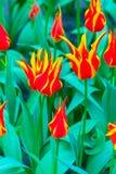 充满活力的五颜六色的红色和黄色郁金香假日背景 库存照片