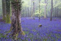 充满活力的会开蓝色钟形花的草地毯春天森林有雾的风景 免版税库存图片