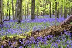 充满活力的会开蓝色钟形花的草地毯春天森林风景 免版税库存照片