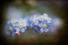 充满活力的勿忘草春天开花与织地不很细和小插图 免版税库存照片