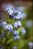 充满活力的勿忘草春天开花与织地不很细和小插图 库存图片