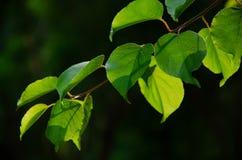 充满活力的叶子 免版税图库摄影