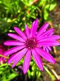 充满活力的带淡红色的紫罗兰色花 库存图片
