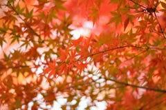 充满活力的日本秋天槭树留给风景被弄脏的背景 库存图片