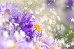 充满活力的明亮的紫色雏菊花 春天和夏天花 库存图片