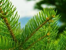 充满活力的杉木 免版税库存图片