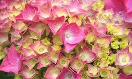 充满活力的桃红色和黄色八仙花属瓣 免版税图库摄影