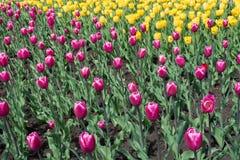 充满活力的桃红色和黄色郁金香小条  免版税库存图片