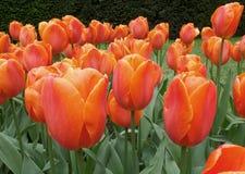 充满活力的橙色在春天阵雨, Keukenhof,荷兰的颜色开花的郁金香花 库存图片